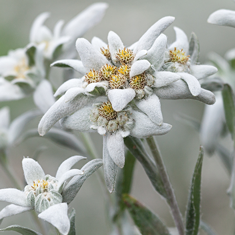 Learning from the Healing Forces of Edelweiss