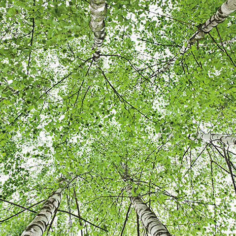 The Power of Birch Leaves